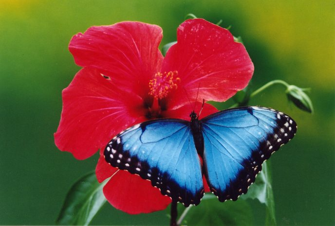 Blauer Morpho auf rotem Hibiskus